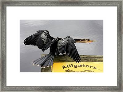 Anhinga Looking For Alligators Framed Print by Paulette Thomas