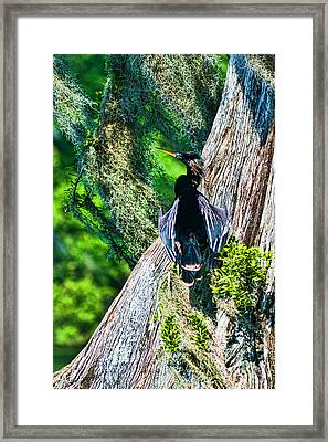 Anhinga On A Cyprus Framed Print by Frank Feliciano