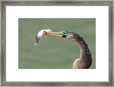 Anhinga Spearing Fish Framed Print by Mlorenzphotography