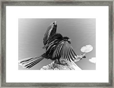 Anhinga Water Bird Framed Print by Carolyn Marshall