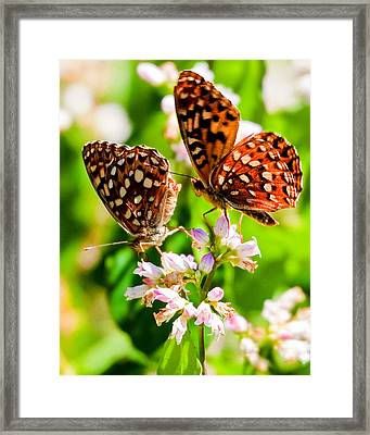 Anica Checkerspot On Dogbane Framed Print by Merle Ann Loman