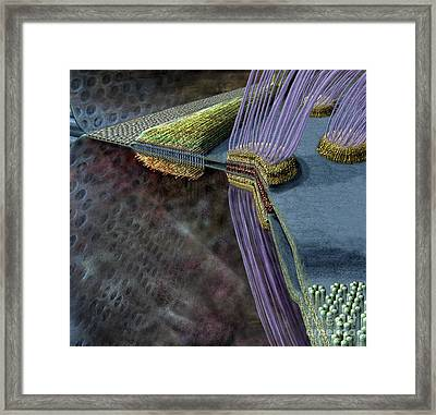 Animal Cell Junctions Framed Print