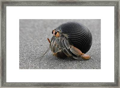 Animals Hermit Crab At Curu Framed Print
