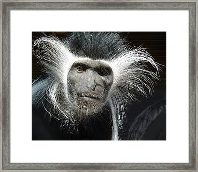 Animals Parent Male Colobus Staring Down Framed Print