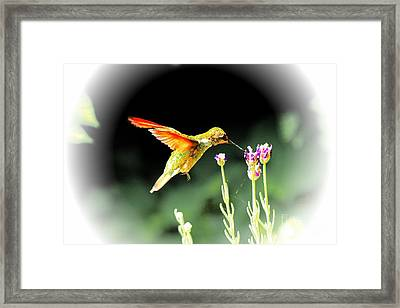 Anna Humming Bird  Framed Print by Paul Baker