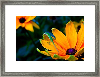 Anole On Yellow Flower Framed Print by Katherine Altman
