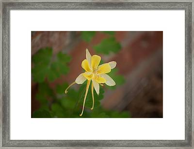 Another Columbine Framed Print by Jessica Lowell