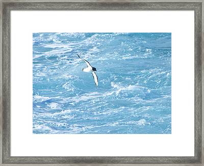 Antarctic Petrel Framed Print by Kelly Cheng Travel Photography