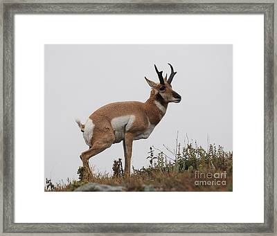 Antelope Critiques Photography Framed Print