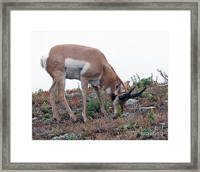 Framed Print featuring the photograph Antelope Grazing by Art Whitton