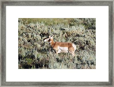Antelope In Lamar Valley Framed Print