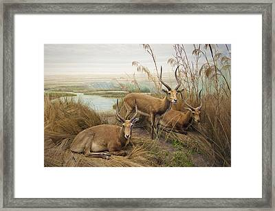 Antelope In The Grass Near The River Framed Print by Laura Ciapponi