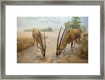 Antelope In The Sand With Their Heads Framed Print by Laura Ciapponi