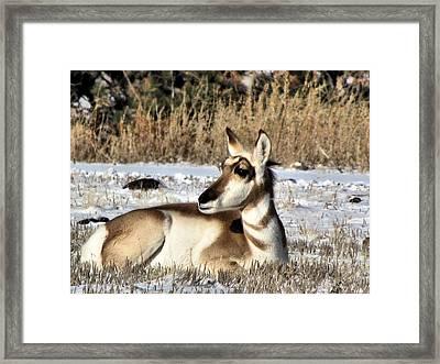 Antelope In Wintertime Framed Print by Marion Muhm