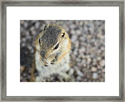 Antelope Squirrel  Framed Print