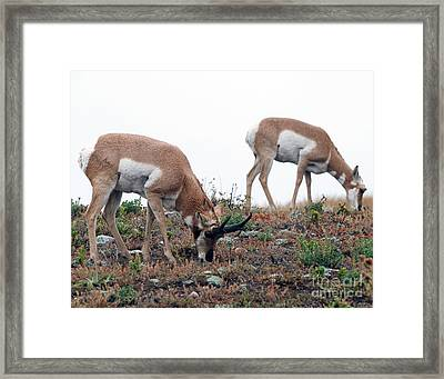 Framed Print featuring the photograph Antelopes Grazing by Art Whitton