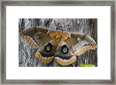 Antheraea Polyphemus Polyphemus Moth  Framed Print