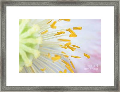 Anthers Of Poppy Flower Framed Print by Ted Kinsman