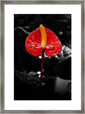 Anthurium Rising Framed Print by Jacqui Collett