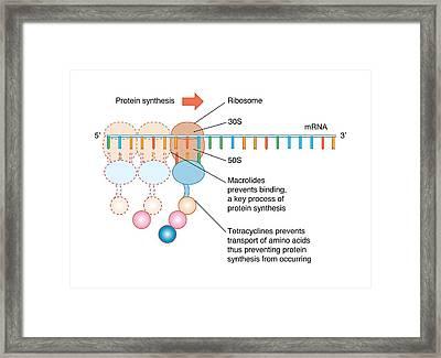 Antibiotic Mechanism Of Action, Artwork Framed Print by Peter Gardiner