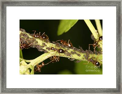 Ants Tending Aphids Framed Print by Ted Kinsman