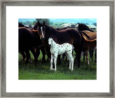 Appaloosa Foal White Spotted Framed Print by John Brink