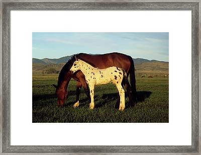 Appalossa Colt With Mother Framed Print by John Brink