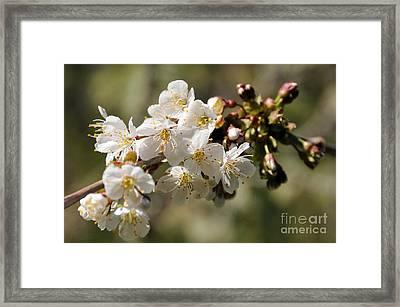 Apple Blossom II Framed Print