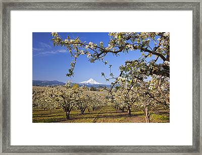 Apple Blossom Trees In Hood River Framed Print by Craig Tuttle