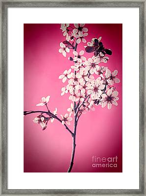 Apple Blossoms Framed Print by HD Connelly