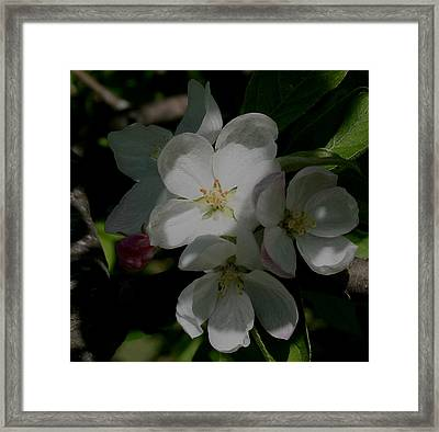 Apple Blossoms Framed Print by Karen Harrison
