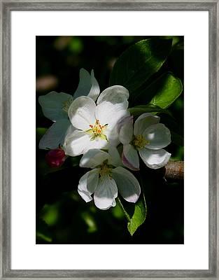 Apple Blossoms2 Framed Print