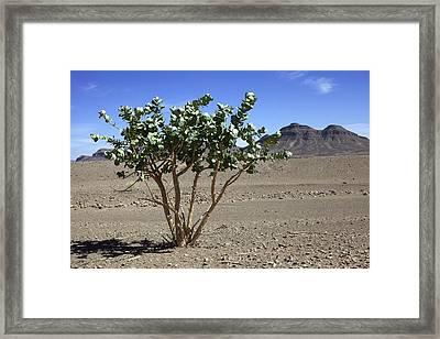 Apple Of Sodom (calotropis Procera) Tree Framed Print