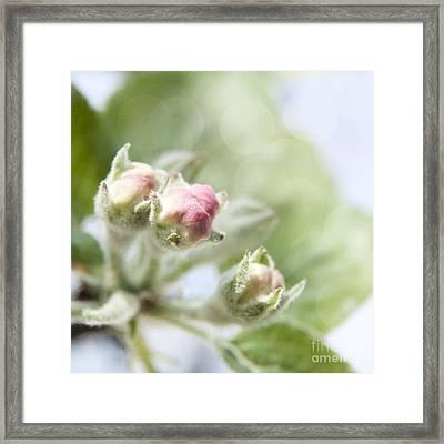 Apple Tree Blossom Framed Print