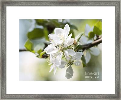 Apple Tree Flowers Framed Print