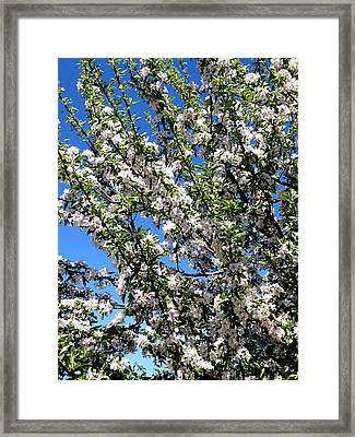 Apple Tree In Bloom Framed Print by Will Borden
