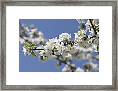 Apple Trees In Full Bloom Framed Print by Wilfried Krecichwost