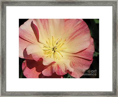 Framed Print featuring the photograph Appleblossom California Poppy by Michele Penner