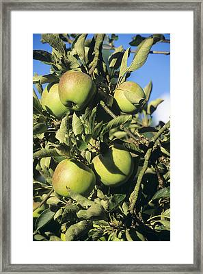 Apples Ripening On A Tree Framed Print by David Aubrey