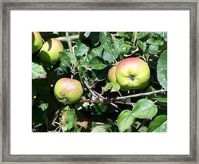 Apples Framed Print by Steve Huang