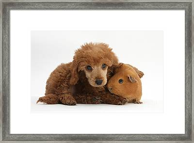 Apricot Miniature Poodle Pup With Red Framed Print by Mark Taylor