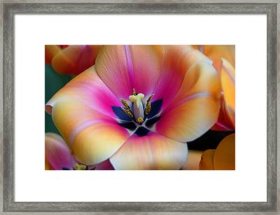 Apricot Or Not Framed Print by Dick Jones