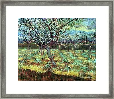 Apricot Trees In Blossom Framed Print by Pg Reproductions