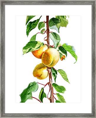 Apricots Framed Print by Irina Sztukowski