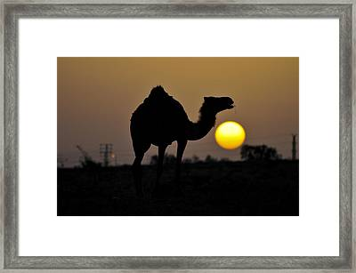 Arabian Camel Framed Print by Photostock-israel