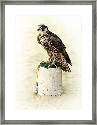 Arabian Hunting Falcon Framed Print