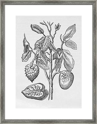 Araticum Ape, Annona Montana, Artwork Framed Print by Middle Temple Library