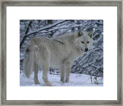 Arctic Wolf In Snowstorm Framed Print