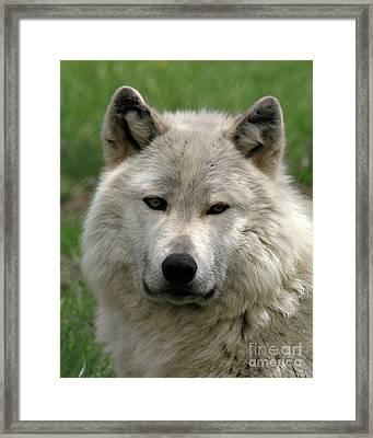Arctic Wolf Portrait Framed Print