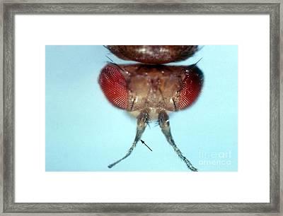 Aristapedia Mutation In Drosophila Framed Print by Science Source